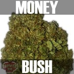 Money Bush-Text